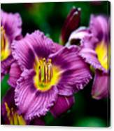 Purple Day Lillies Canvas Print