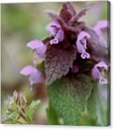 Purple Deadnettle Bloom Canvas Print
