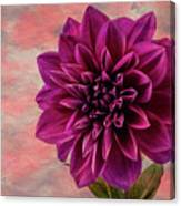 Purple Dhalia Canvas Print
