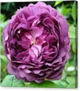 Purple English Rose Canvas Print