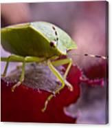 Purple Eyed Green Stink Bug Canvas Print