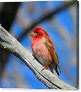 Purple Finch In Spring Canvas Print