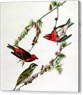 Purple Finch Canvas Print