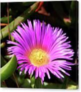 Purple Flower On California Coast Canvas Print