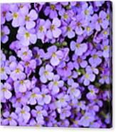 Purple Flowers - Rockcress Canvas Print