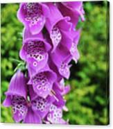 Purple Foxglove Canvas Print