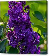 Purple French Lilac Canvas Print