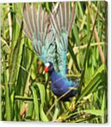 Purple Gallinule In Flight Canvas Print
