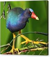 Purple Gallinule Canvas Print