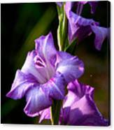 Purple Glads Canvas Print