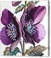 Purple Helleborous Canvas Print