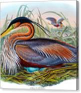 Purple Heron Antique Bird Print John Gould The Birds Of Great Britain Canvas Print