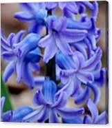 Purple Hyacinth Canvas Print