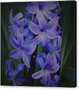 Purple Hyacinths - 2015 D Canvas Print