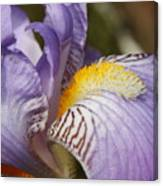 Purple Iris Closeup Canvas Print