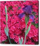 Purple Iris In Pink 2  Canvas Print