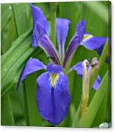 Purple Iris With Insect Canvas Print