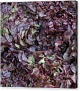 Purple Lettuce   Corsica Canvas Print