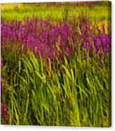 Purple Loosetrife And Cat-tails Canvas Print