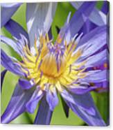 Purple Water Lily Flowers Blooming In Pond Canvas Print