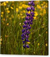 Purple Lupin And Buttercups Canvas Print