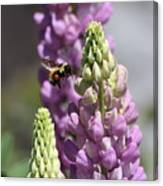 Purple Lupine Bee 4 Canvas Print