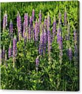 Purple Lupines In Summer Canvas Print
