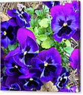 Purple Pansies Canvas Print