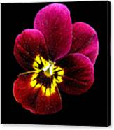 Purple Pansy On Black Canvas Print