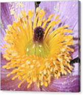Purple Pasque Flower With Pollen Canvas Print