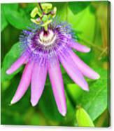 Purple Passion Vine Canvas Print