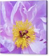Purple Peony Canvas Print