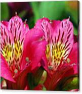 Purple Peruvian Lily Canvas Print