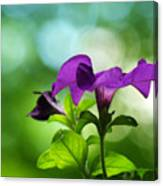 Purple Petunia On A Cool Spring Day Canvas Print
