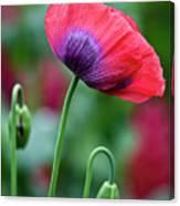 Purple Poppy Flower Canvas Print