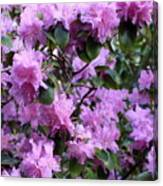 Purple Rhododendrons Canvas Print