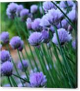 Purple Scallions Canvas Print