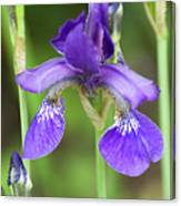 Purple Siberian Iris Canvas Print