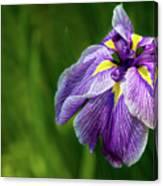 Purple Siberian Iris Flower Closeup Canvas Print