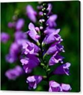 Purple Skullcap Bloom Canvas Print