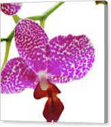 Purple Spotted Orchid On White Canvas Print