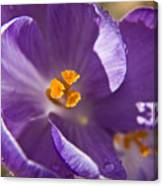 Purple Spring Crocus Canvas Print