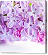 Purple Spring Lilac Flowers Blooming Canvas Print