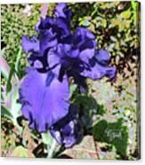 Purple Springtime Iris  Canvas Print