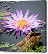 Purple Star Water Lily Canvas Print