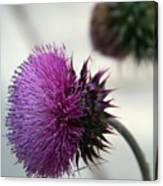 Purple Thistle Canvas Print