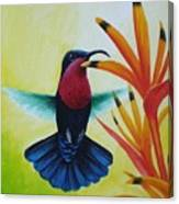 Purple-throated Carib And Bird Of Paradise Canvas Print