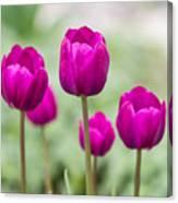 Purple Tulips 1 Canvas Print