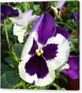 Purple White Pansy Canvas Print