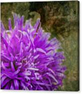Purple Zinnia Canvas Print